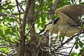 Black-crowned Night-Heron brings a twig for the nest - step 4, determining where the new twig is needed (48251731802).jpg