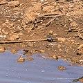 Black-fronted dotterel Burke River Boulia Queensland P1030926.jpg