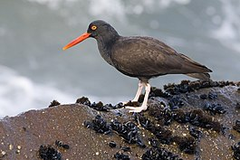 Black-oystercatcher.jpg