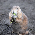 Black-tailed Prairie Dog (Cynomys ludovicianus) eating in Zoo Budapest 009.JPG