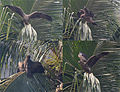Black Kite (Milvus migrans)- Immature trying to learn flying at Palmyra Palm (Borassus flabillifer) in Kolkata I.jpg