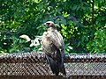 Black Kite at National Zoological Park, New Delhi.jpg