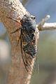 Black Prince Cicada 02.jpg