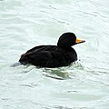 Black Scoter (male) (15823275243).jpg