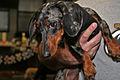 Black and tan dachshund (8109028486).jpg