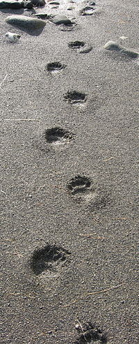 Black bear tracks on Vancouver Island, British Columbia.