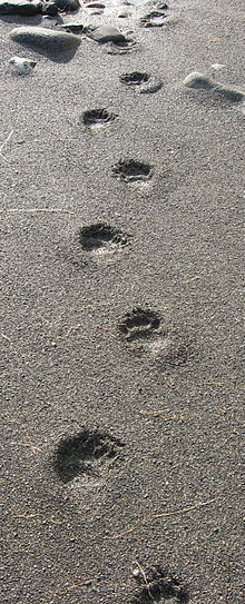 L'Ours 5 dans OURS 220px-Black_bear_tracks