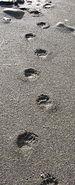 Black bear tracks.jpg