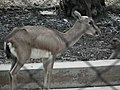 Black buck at Bannerghatta National Park 8661.JPG