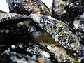 Black shells - panoramio.jpg