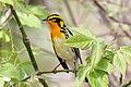 Blackburnian warbler (Setophaga fusca) (15412645342).jpg