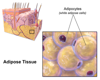 Adipocyte - Illustration depicting white adipose cells.