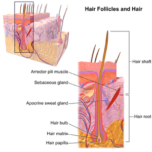 Hair follicle - Hair Follicles and Hair.