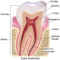 Blausen 0863 ToothAnatomy 02 lv.png