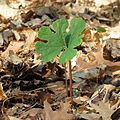Bloodroot4072 - Flickr - treegrow.jpg