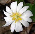 Bloodroot (Sanguinaria canadensis) - Flickr - Jay Sturner (1).jpg
