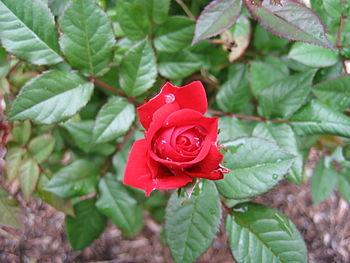 English: Blooming rose