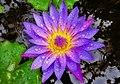 Blue-Lotus.jpg