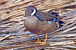 Blue-Winged Teal.jpg