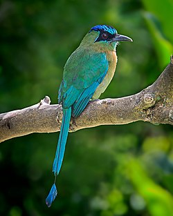 Blue-crowned Motmot (16376009632).jpg