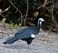 Blue-throated Piping Guan (Pipile cumanensis) (31841308005) (cropped).jpg