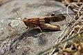 Blue-winged Grasshopper - Oedipoda caerulescens (20872592241).jpg
