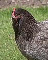 Blue Cochin hen.jpg