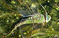 Blue Emperor laying Anax imperator (32041677103).jpg