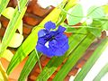 Blue Flower of my house.jpg