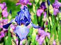 Blue Iris at Royal Botanical Gardens (7253497912).jpg