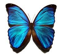Blue morpho butterfly.jpg