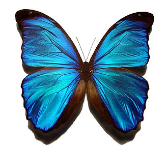 Calarcá - The blue morpho butterfly can be seen in the Mariposario