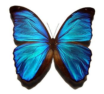 To φαινόμενο του ιριδισμού στα φτερά μιας πεταλούδας της οικογένειας των Νυμφαλιδών. Τα χρώματα αλλάζουν ανάλογα με την οπτική γωνία με την οποία παρατηρεί κανείς την πεταλούδα.