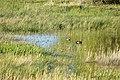 Blue winged teal on Seedskadee National Wildlife Refuge (34174649674).jpg