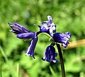 Bluebell near Scrabo Tower - geograph.org.uk - 780504.jpg