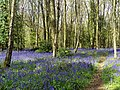 Bluebells (Hyacinthoides non-scripta), Box Wood, Walkern (27608764561).jpg