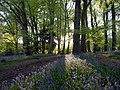 Bluebells in Bradenham Woods.jpg