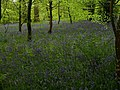 Bluebells in The Belts (2) - geograph.org.uk - 1289002.jpg
