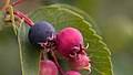 Blueberries in Aspen (91260).jpg