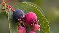 Blueberries in Aspen (91260).jpg