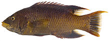 Bodianus rufus, Adult (Spanish Hogfish).jpg