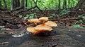 Bonnet (Mycena sp.) - Kitchener, Ontario.jpg
