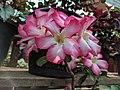 Bonsais in flower 118.jpg