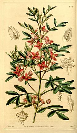 Boronia fraseri drawing.jpg