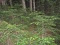 Bosque de abetos de Gerdar - Aledaños de Aigüestortes - panoramio.jpg