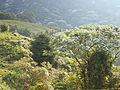 Bosque iluminados por un sol radiante en Buga.JPG