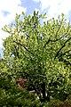 BotGartenMuenster Taschentuchbaum6659.jpg