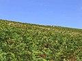 Bracken covered hillside - geograph.org.uk - 548886.jpg