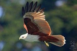 Brahminy Kite.jpg
