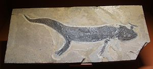Branchiosaurus - B. salamandroides fossil